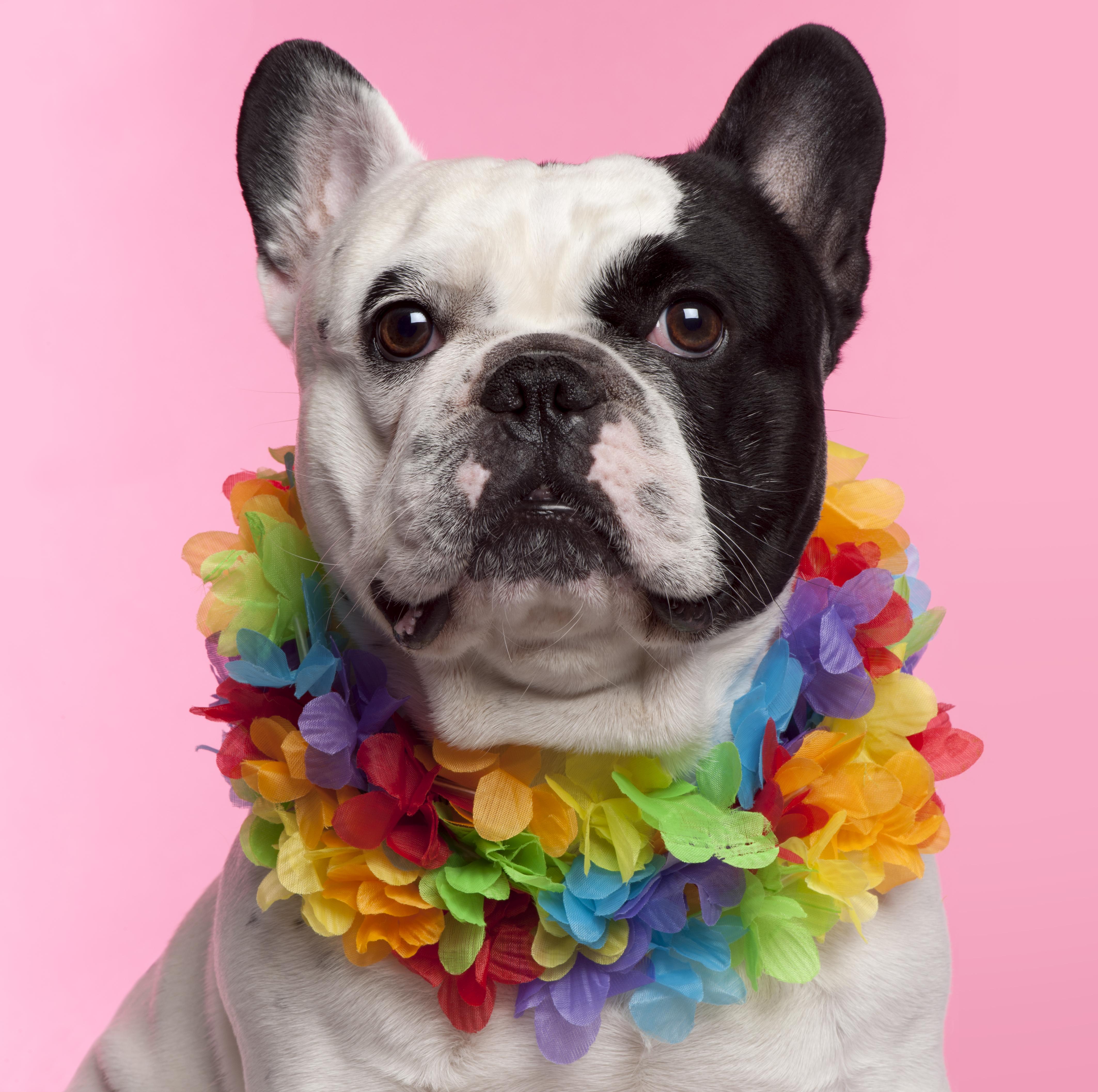 french-bulldog-3-years-old-wearing-hawaiian-lei-PDUV9VN-1